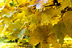 Autumn, leaves, yellow trees Royalty Free Stock Images