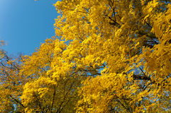 Autumn, leaves, yellow trees Royalty Free Stock Image