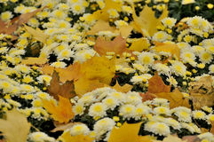 Autumn leaves. Yellow leaves on yellow flowers stock image
