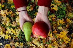 Autumn leaves zholtye hands red apple and green pear coats woman royalty free stock image