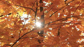 Autumn Leaves 5 Zonlicht stock footage