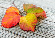 Autumn leaveson the wooden background. Autumn leaves on the old striped wooden background Stock Image