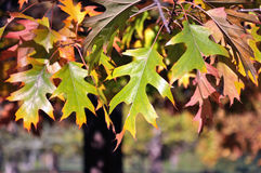 Autumn leavs. Detail of autumn leaves with blurry background Royalty Free Stock Photo