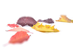 Autumn Leavs Royalty Free Stock Photo