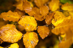 Autumn leves of a beech tree Stock Images