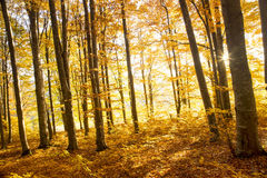 Autumn light in the beech forest Royalty Free Stock Photography