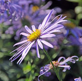 Autumn lilac daisy flower Royalty Free Stock Image
