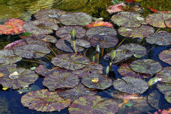 Autumn Lily Pond Royalty Free Stock Image