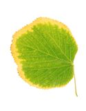 Autumn linden leaf isolated on a white Stock Photo