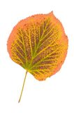 Autumn linden leaf isolated on a white Stock Image