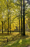 Autumn linden trees Royalty Free Stock Photo
