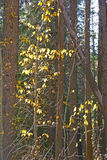 Autumn, Lodgepole pines, and aspens Stock Images
