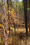 Autumn, Lodgepole pines, and aspens Stock Photography