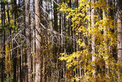 Autumn, Lodgepole pines, and aspens Royalty Free Stock Photo