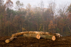 Autumn Logs. Freshly cut trees stacked as logs in a forest on a foggy autumn morning with muted colors Royalty Free Stock Photography