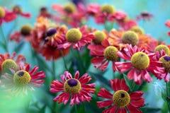 Autumn Lollipops. (Helenium autumnale) flowers Royalty Free Stock Images