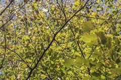 Autumn in London, October 2018; bright green leaves looking up. This image shows a view of some trees in London. It was taken on a sunny day in October. It stock images