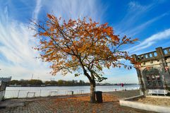 Autumn lonely golden tree. On a river side in Antwerp, Belgium stock photos