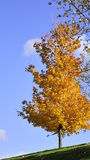 Autumn look. Tree standing on hillside with autumn  looking leaf with blue sky back ground Stock Photos