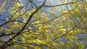 Autumn look. Maple tree with yellow leaves. Bottom to the top stock video footage