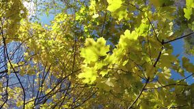 Autumn look. Maple tree with yellow leaves. Bottom to the top stock footage