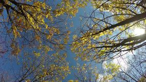 Autumn look. Maple tree with yellow leaves. Bottom to the top stock video