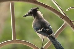 Grateful and young Blue Jay. During autumn lots of blue Jay are hungry for nuts of all kind. This blue Jay was a special one, very emotional, connective and Royalty Free Stock Photo