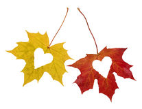 Autumn_Love. Isolated Red and Yellow Maple leaves on white background with heartshaped hole Stock Photos