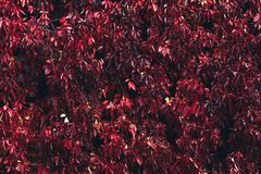 Autumn lush foliage from red leaves. stock photo