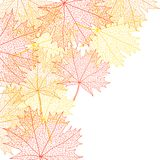 Autumn macro leaf of maple. Vector bacground Royalty Free Stock Image