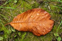 Autumn magnolia leaf Stock Photography