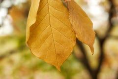 Autumn magnolia leaves Stock Images