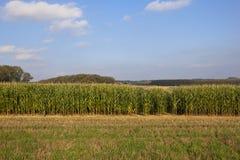 Autumn maize crop Royalty Free Stock Photos
