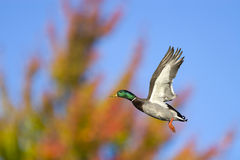 Autumn Mallard In Flight. A mallard duck in flight with a blurred autumn background Stock Image