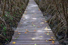 Autumn in mangrove forest with wood walkway bridge and leaves of tree.Phetchaburi ,Thailand. Royalty Free Stock Photography