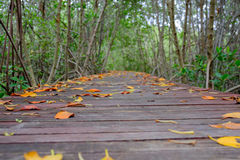 Autumn in mangrove forest with wood walkway bridge and leaves of tree.Phetchaburi ,Thailand. Stock Photography