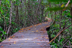 Autumn in mangrove forest with wood walkway bridge and leaves of tree.Phetchaburi ,Thailand. Royalty Free Stock Images