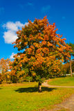 Autumn maple. Yellowed maple in the warm autumn day Stock Image