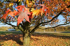 Autumn_maple Imagens de Stock
