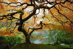 Autumn Maple. Japanese Maple in Autumn, Japanese Garden, Portland Oregon Stock Images