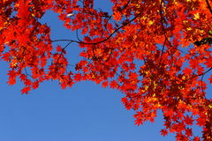 autumn maple Royalty Free Stock Photo