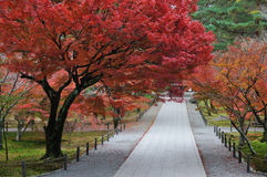 Autumn maple. Tree and trails Royalty Free Stock Photography
