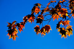 Autumn Maple Stock Photo