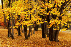 Autumn maple. Trees in the forest Stock Images