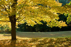 Autumn maple. Maple with yellow leaves on a wood glade in the autumn Royalty Free Stock Image