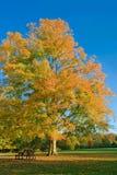 Autumn maple Royalty Free Stock Image