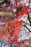 Autumn maple Royalty Free Stock Photography