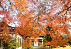 Autumn maple Stock Photo