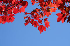 Autumn Maple. Looking up at a maple with bright red leaves Royalty Free Stock Photos