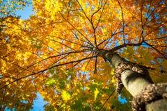 Autumn maple against the blue sky. Autumn nature background. Autumn maple against the blue sky. Bottom view Stock Image